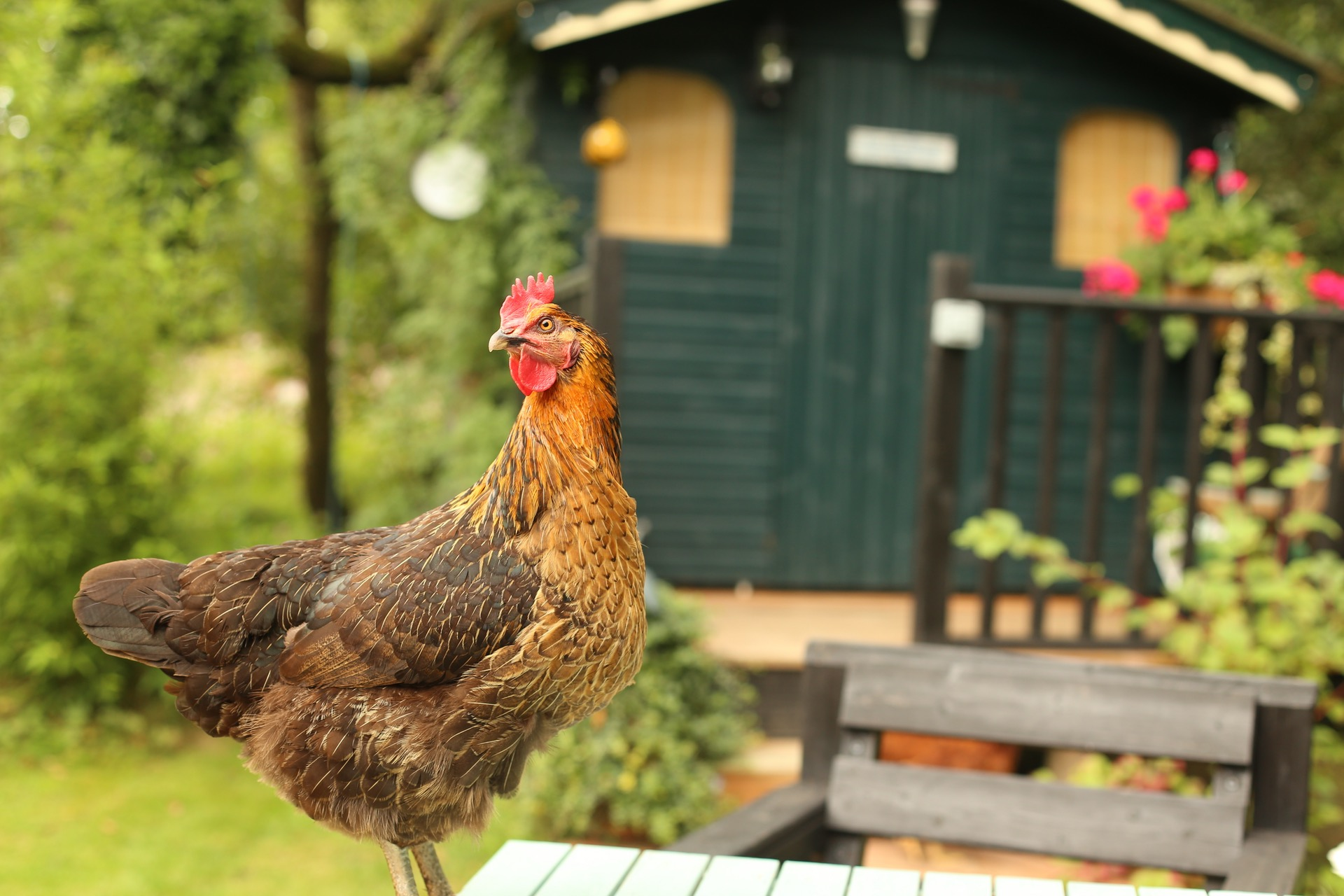 the many benefits of backyard chickens green america