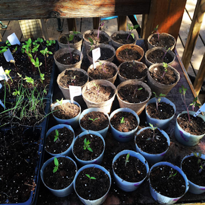 pots growing seedlings for garden