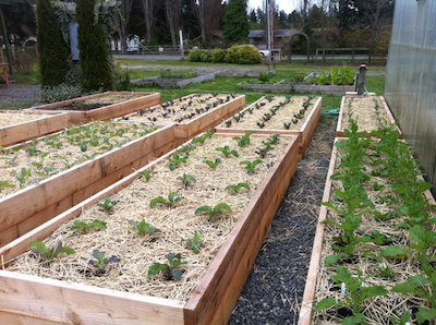 garden bed with small plants surrounded by straw
