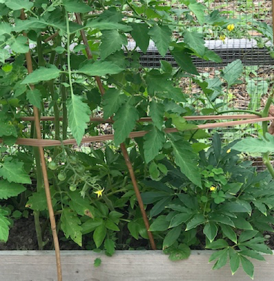tomato plant with bamboo and panty hose holding it up