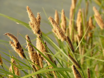 Sedge, grass with large seed pods
