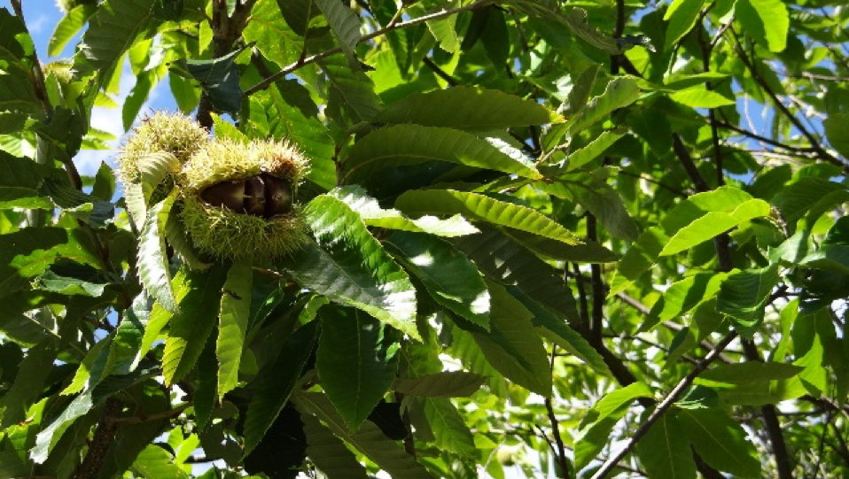 chestnut growing in a tree