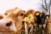 Cows in field with ear tags