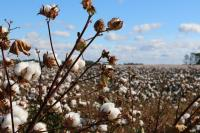 Landscape shot of a cotton field. In the foreground is a dried stalk with several fluffy white cotton balls on the ends.