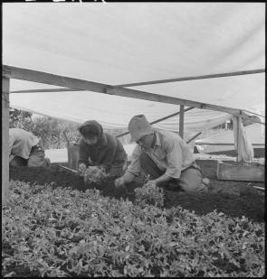 Japanese Americans planting tomatoes during WWII. Climate Victory Gardens.