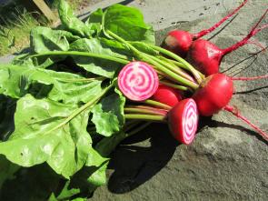 Chioggia Heirloom Beets