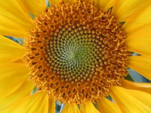 Biodynamic Sunflowers