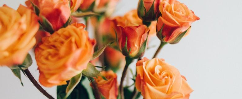 beautiful orange roses against a white background