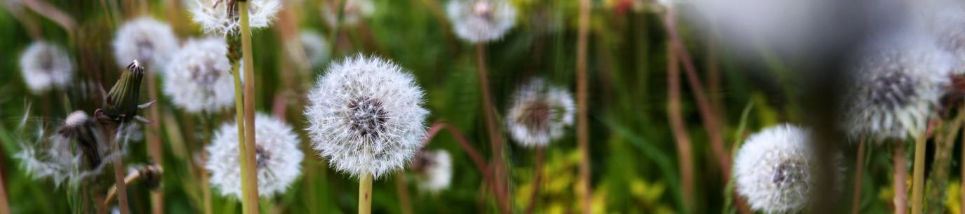 close-up of dandelions, learn from weeds
