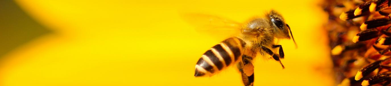 bee approaching a sunflower. support pollinators in your climate victory garden.