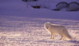 arctic fox standing in the snowy landscape looking at the camera