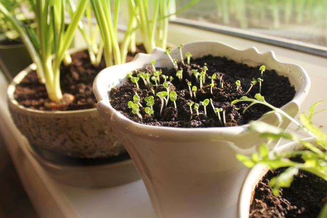 windowsill with herbs growing in white pots, growing food indoors