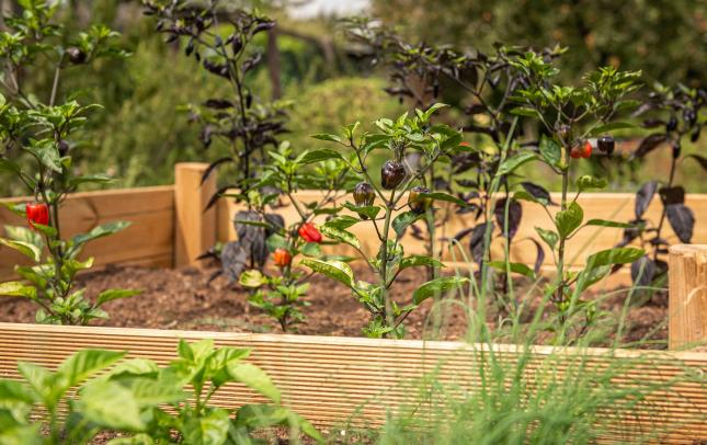raised garden beds made out of wood showing colorful peppers