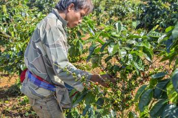 farmer picking coffee berries